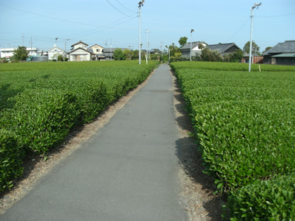 駿遠線茶畑