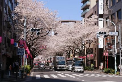 中野通の桜