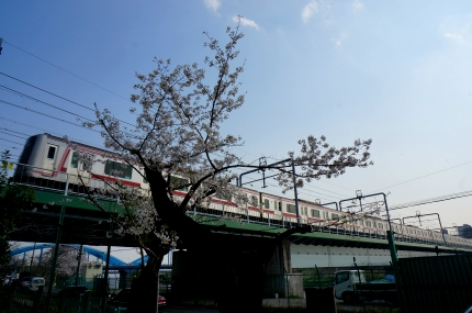 多摩川丸子橋の桜 東横線