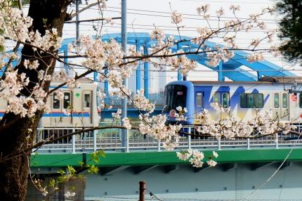 多摩川丸子橋の桜 目黒線 東横線