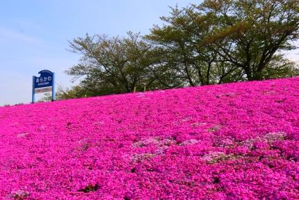 赤羽桜堤緑地の芝桜