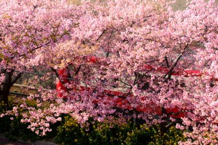 河津桜並木跨線橋
